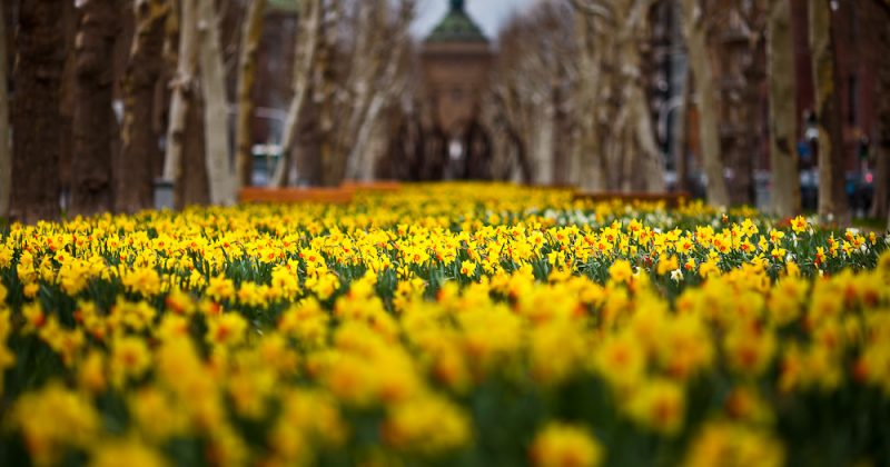 Field of daffodils in Mannheim, Germany with a blurred out building in the background